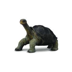 Абингдонская слоновая черепаха, Collecta
