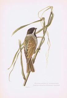 Гравюра Kronen-V Птицы. Камышовая овсянка. Офсетная литография. Германия, Гамбург, 1953 год, 20-001-039