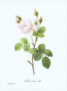 Гравюра Пьер-Жозеф Редуте Пушистая белая роза. Офсетная литография. Германия, Штутгарт, 1963 год
